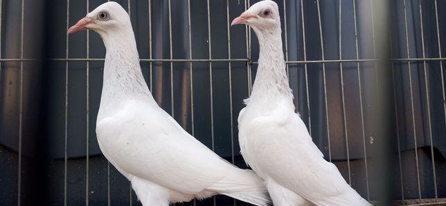Gołębie  srebrniak Srebrniaki perłowe parzyste
