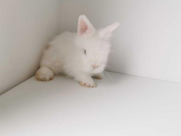 Mini coelhos anões hôlandes, teddy, toy, Angorá, KIT Completo