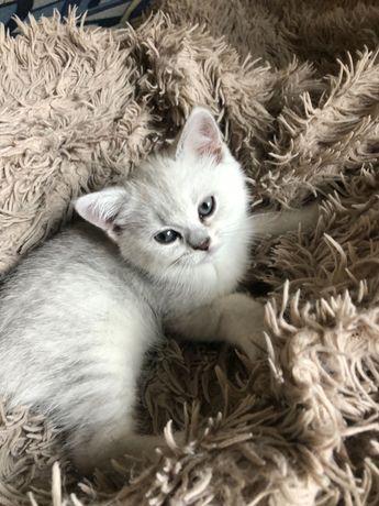 Котёнок британская серебристая шиншилла