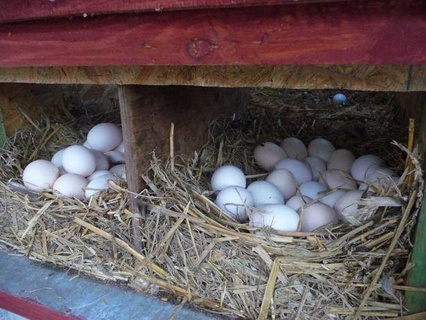 Jajka lęgowe zielononóżka, zielononóżki,