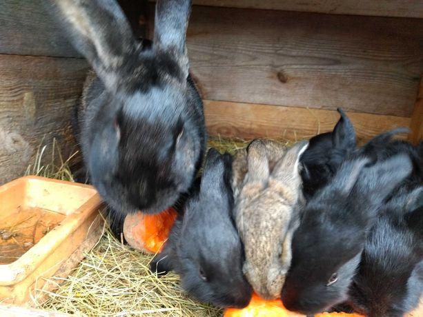 Zwierzęta króliki