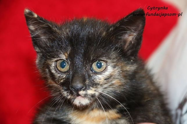 Cytrynka - szylkretowa koteczka do pokochania