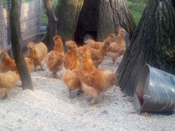 Kurczaki silki rudej