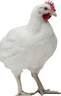 інкубаційні яйця бройлер РОСС-308