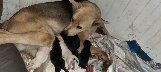 Cães bebés  arraçados a Pastor Alemão para adoção