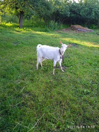 Продам Зааненські кози