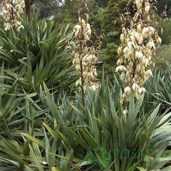 Цветущее многолетнее растения