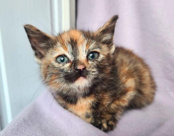 Черепаховая кошечка Нюся, кроха котенок (1,5 мес) кошка, кот, котик