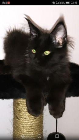 Черный красивый котик