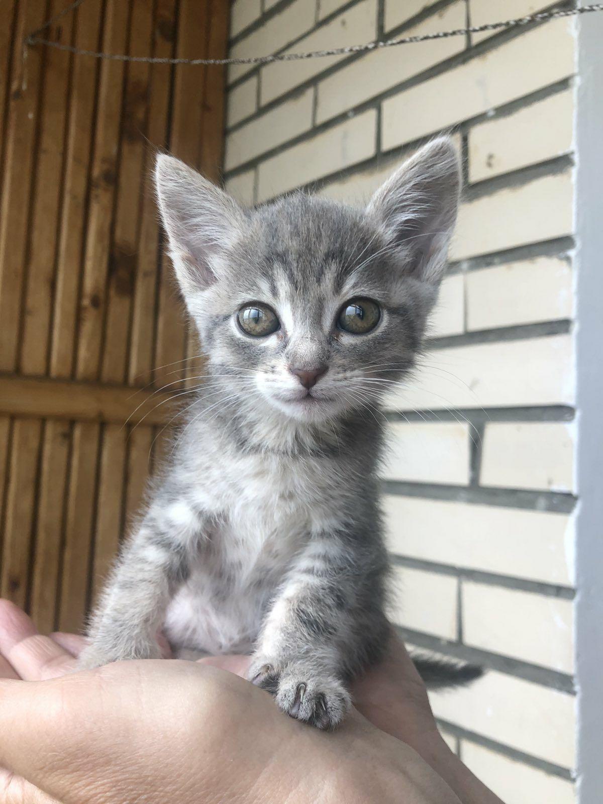 Котёнок девочка 1,5мес в поисках семьи, котята, кошка, кот, кошечка