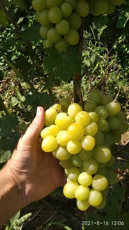 Черенки столовых сортов винограда
