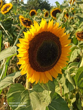 Nasiona słonecznika TAIYO