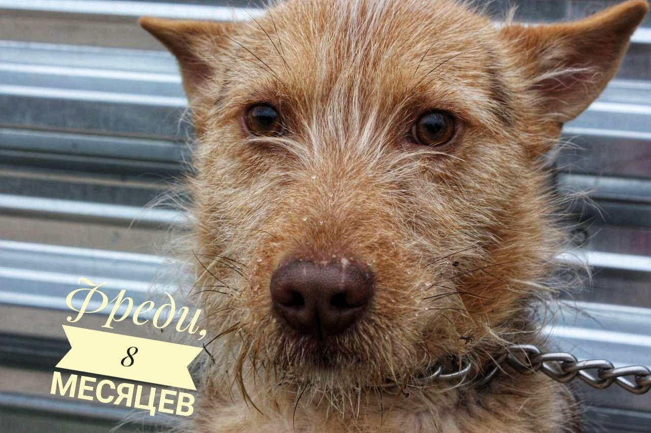 Фредди, 8 месяцев собака, собачка, пёс, пес