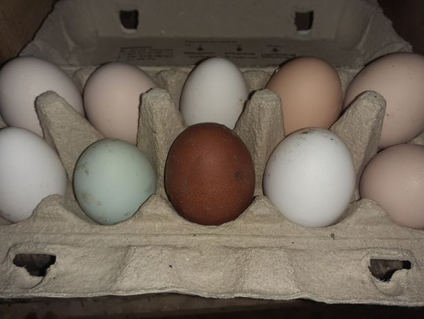 Jaja lęgowe