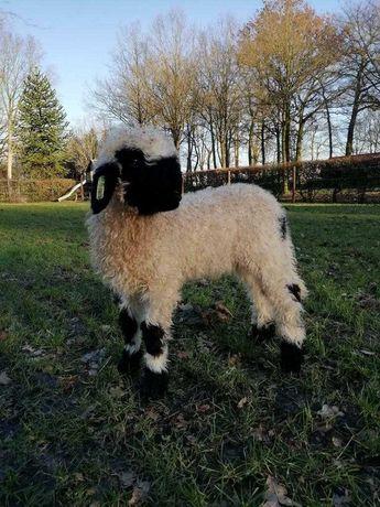 Owce walizerskie - jagnięta 2021r..