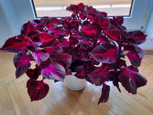 Kwiat koleus 30cm