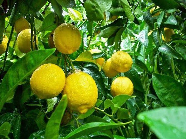 Árvore Limão Doce