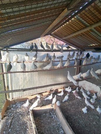 Ptaki- gołębie ozdobne