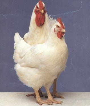 Инкубационное яйцо бройлера Росс 308 Чехия