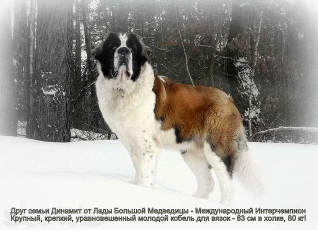Москвич для вязки - породистый кобель московской сторожевой Динамит