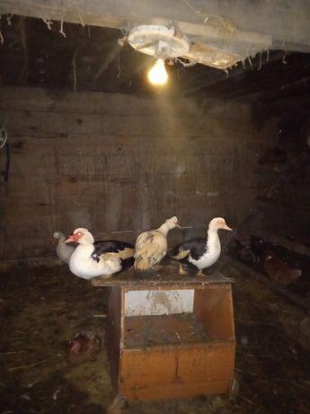 Kaczki francuskie biało-czarne