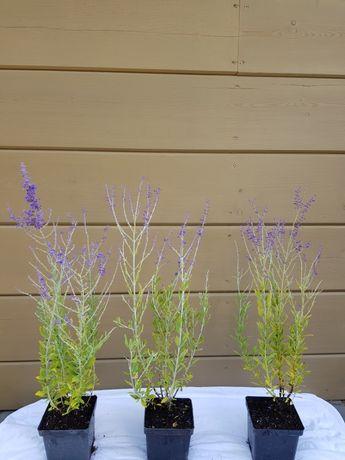 Perowskia łobodolistna Perovskia atriplicifolia LACEY BLUE