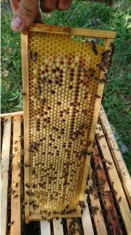 Карпатка пчеломатка. 100% Карпатка. Продам.