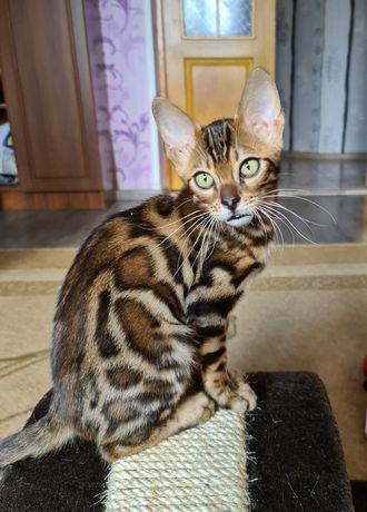 Бенгальская кошка, котёнок девочка. Бенгальские котята