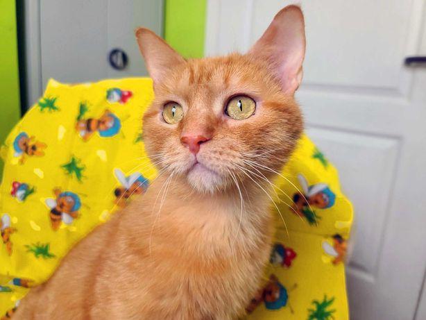 Рыжий чудо-кот, котомальчик, котенок Батошик ( 1 год, кастрирован)