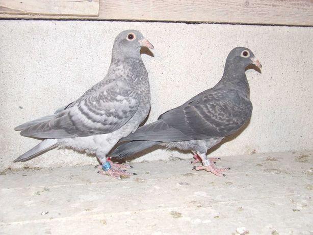 Gołąbki Dziadka Mariana nr 12 - gołębie pocztowe ozdobne