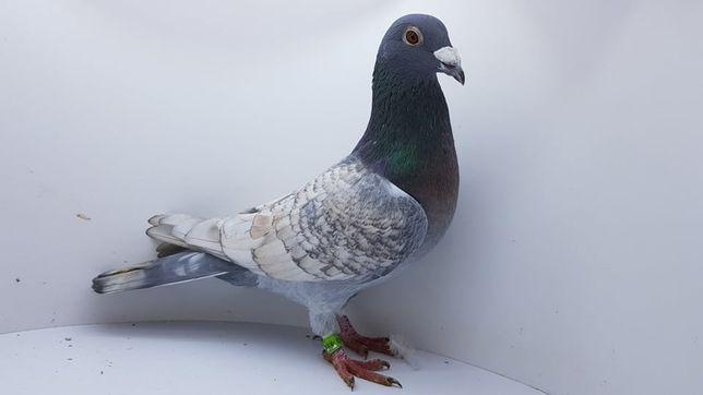 Zamienię gołębie z rozpłodu na nietypowe pocztowe w kolorze Opal PZHGP