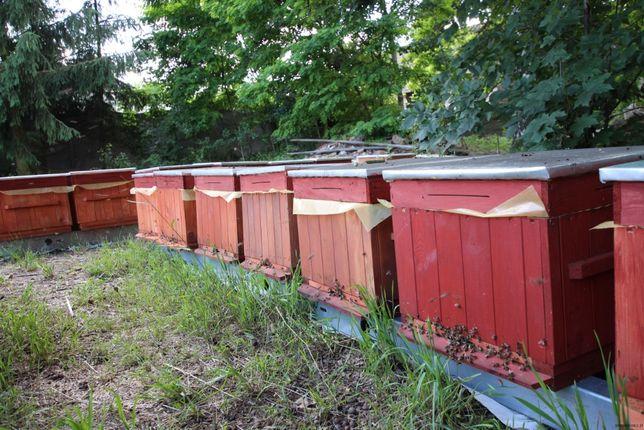Zdrowe mocne pszczoły odkłady ule ul wczesne wielkopolskie rasowe!