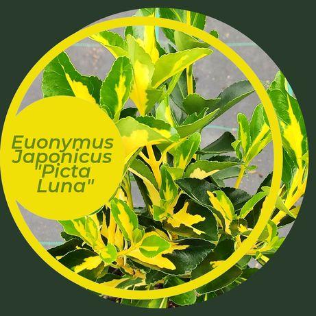 Euonymus japonicus Picta Luna