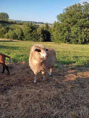 Owca czarnoglowka