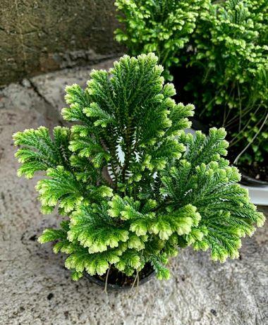 Селангинелла флорариум