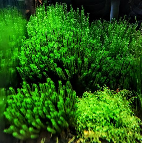 Distichophyllum Maibarae Moss- rarytas ZAMIANA GRATIS PROMOCJA