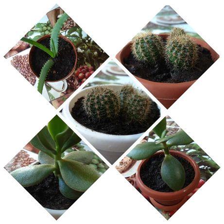 Кактусы, денежное дерево, алое - подарок отличный !!!