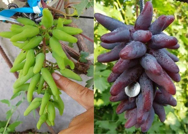 Со школки. Саженцы винограда