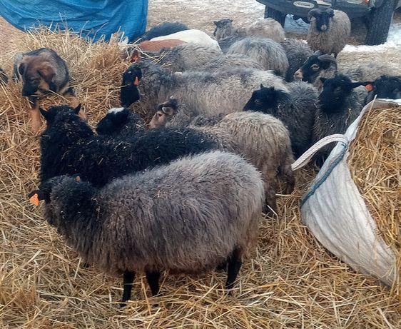 owce wrzosówki młode maciorki