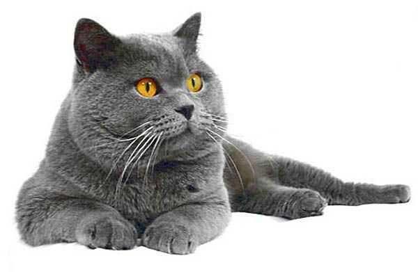 Продам котят шотландських