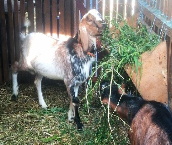 Англонубійський козёл для паровки кіз