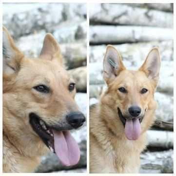 Солнечная собака Алиса, дружелюбная, послушная