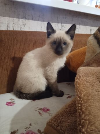 Кошенята сіамські