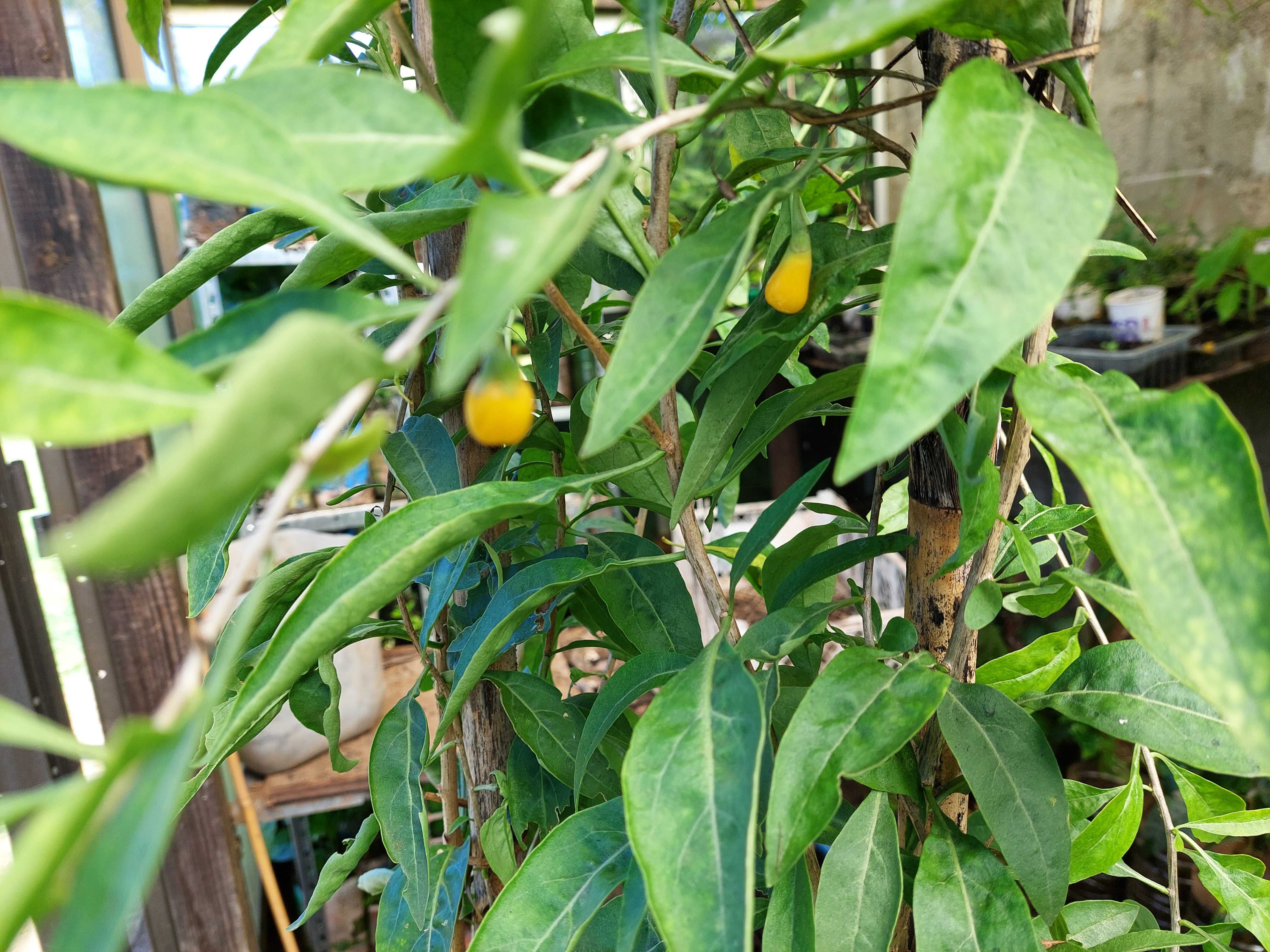 Goji amarelo (planta)