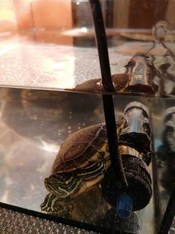 Żółw Trachemys venusta z wyposażeniem oraz akwarium