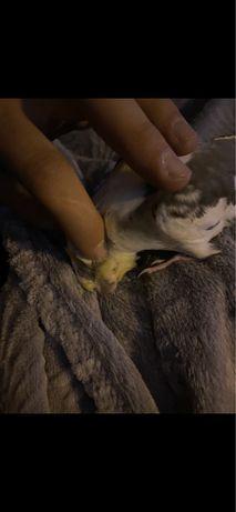 Papuga nimfa ręcznie karmiona