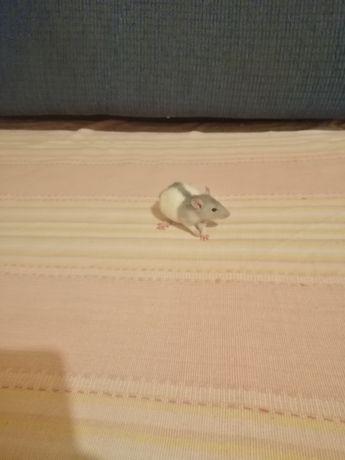 Szczur szczurek szczurki domowe