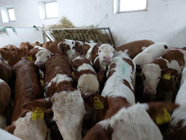 Cielęta byczki jałówki , opasy , sprzedaż cieląt duże ilości !