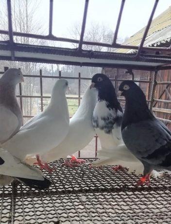 Zamojskie, gołębie wysokolotne