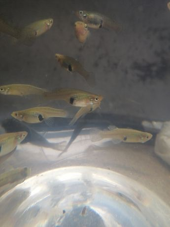 Guppies selvagens
